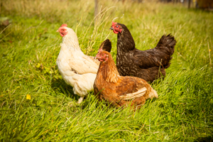 Feed the hens on an Irish Farmhouse holiday