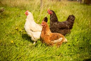 Feed the hens on an Irish Farmhouse holiday